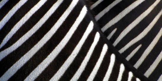 zebras nahaufnahme. Black Bedroom Furniture Sets. Home Design Ideas